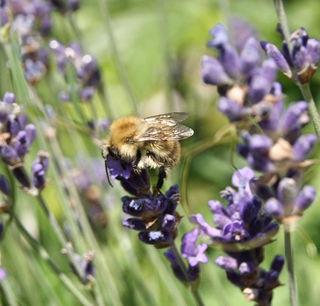 carder bee on lavender