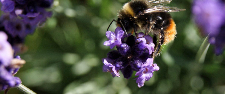 bumblebee-lavender-homeofjuniper