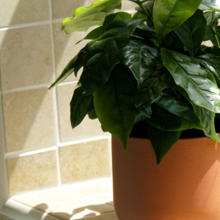 terracotta plant pot by sue pryke with coffee plant in at home of juniper