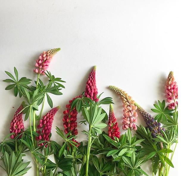 lupin-pod-and-pip-british-flowers-week-homeofjuniper-blog