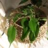 plant-basket-homeofjuniper-sq-ficus-lounge.