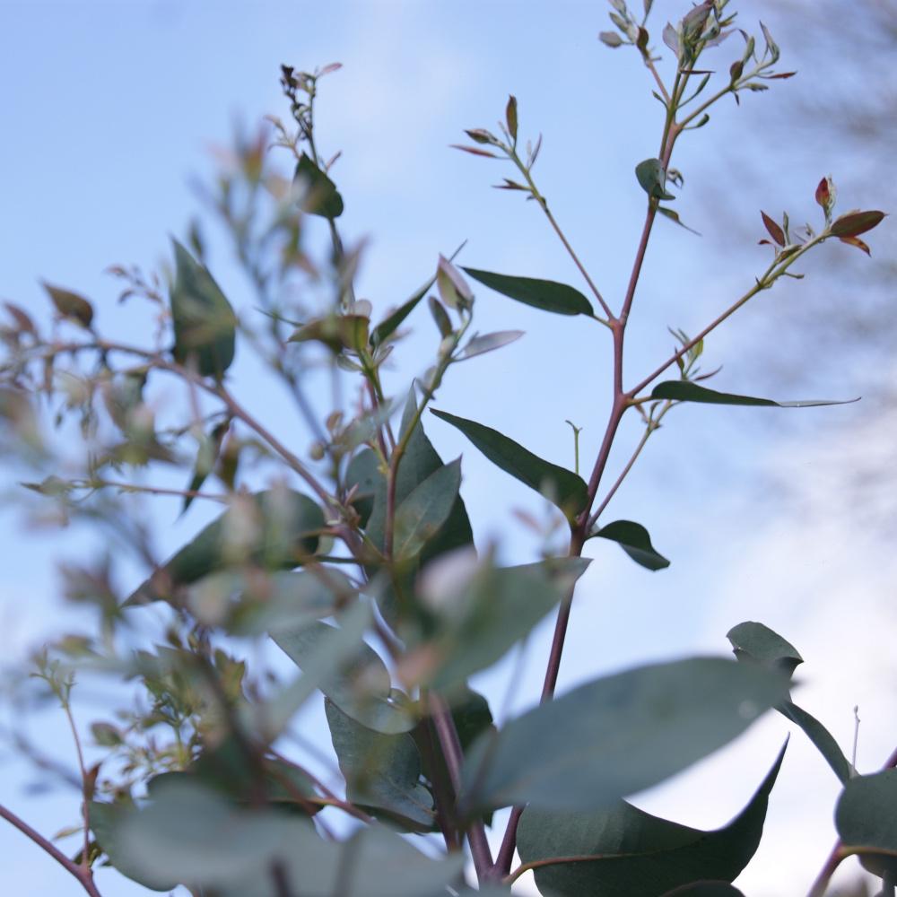 eucalyptus-gardening-make-bake-read-blog-homeofjuniper