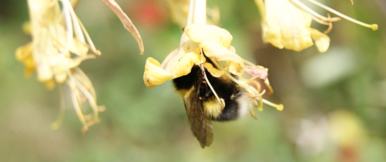 bumblebee-on-honeysuckle-flower