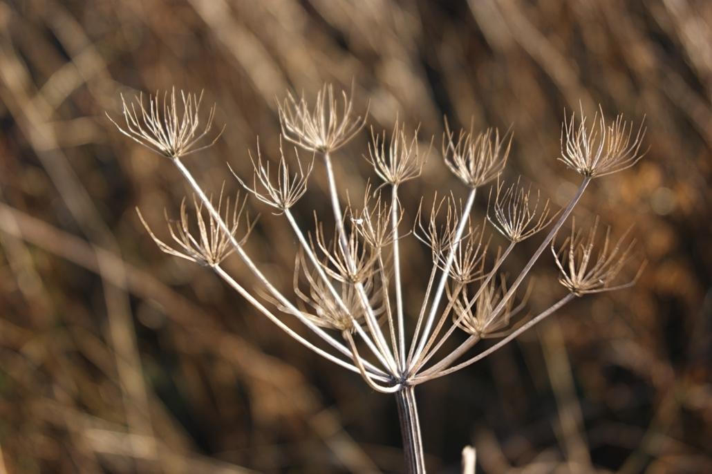 dried-seedhead